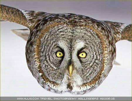图文:《国家野生生物》获奖作品-猫头鹰飞来