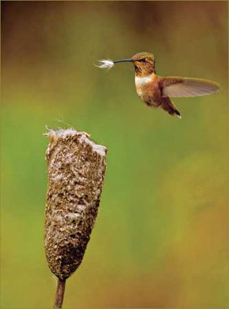 圖文:《國家野生生物》獲獎作品-築巢的蜂鳥