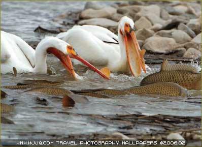 圖文:《國家野生生物》獲獎作品-鵜鶘捕魚