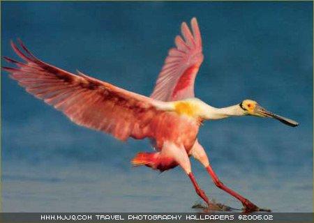 圖文:《國家野生生物》獲獎作品-白篦鷺歸來