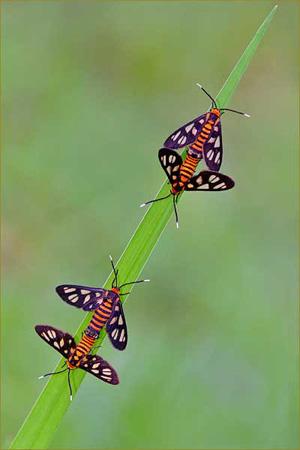 圖文:《國家野生生物》獲獎作品-飛蛾獨葉舞