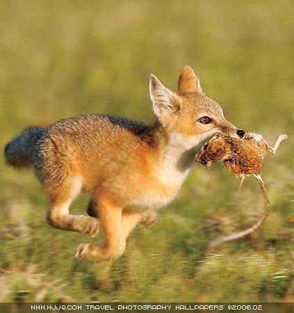 圖文:《國家野生生物》獲獎作品-幼狐捕鼠歸來