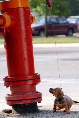 图文:8周大的德国猎犬好奇地盯着路边消防栓