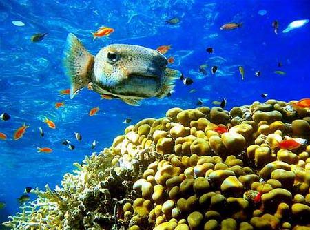 图文:密斑刺鲀游过珊瑚丛