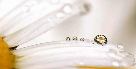 图文:花瓣上的水珠折射出许多朵春白菊