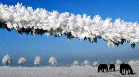 图文:马群在被冰冻了的围栏里吃草