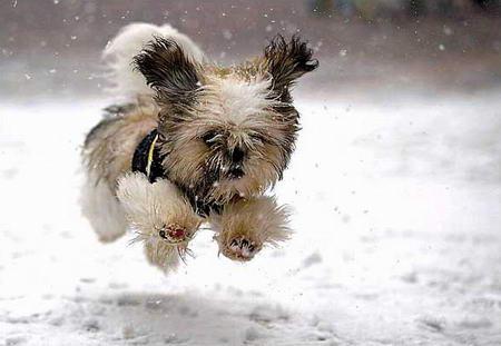 图文:一只盲犬在雪中奔跑