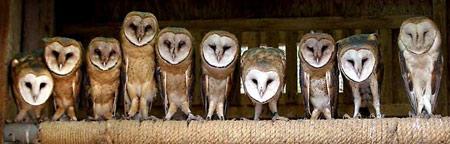 图文:10只年幼的猫头鹰并排站立