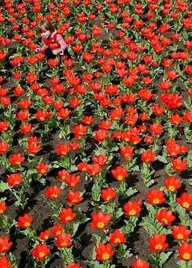 图文:女孩儿在一片红色的郁金香丛中玩耍