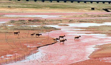 图文:藏羚羊通过楚玛尔河