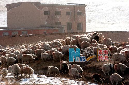 羊群在原子城生产区保留下来的一栋楼体前闲步吃草