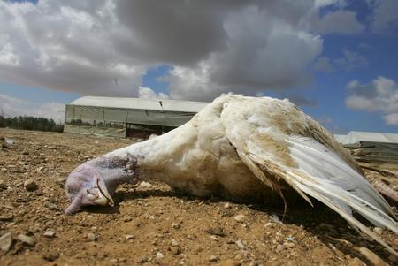 图文:以色列的集体农庄一只死亡的火鸡