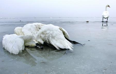 图文:吕根岛上一只死去的天鹅