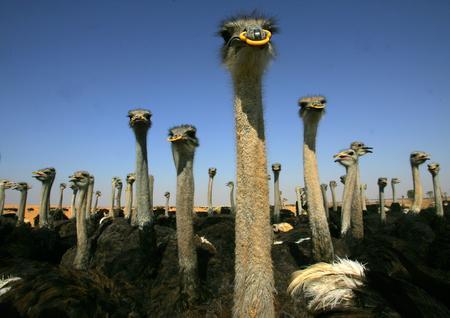 图文:农场的鸵鸟鸟喙上戴着塑料套