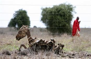 图文:肯尼亚男子走过一只斑马干尸
