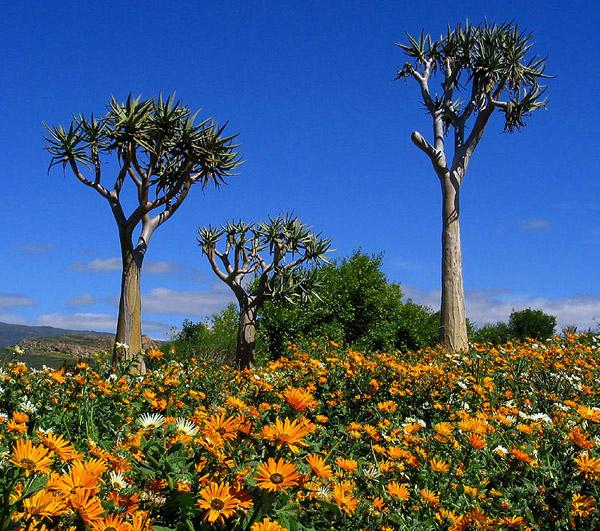 南非纳马夸兰花海