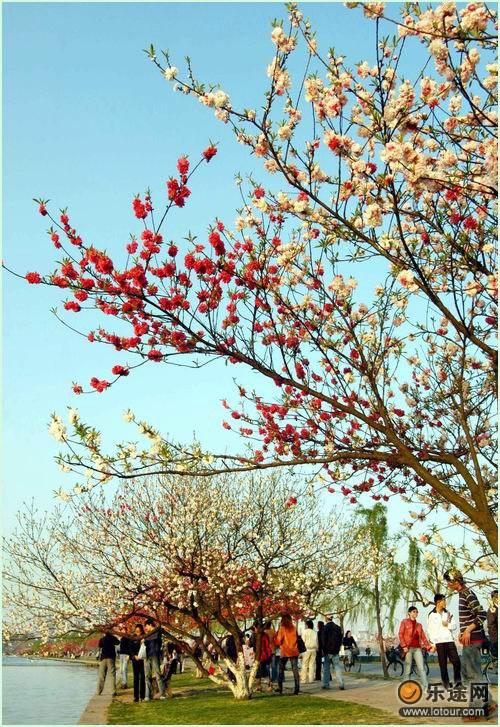 白堤上盛开的桃花_