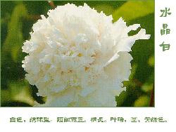 水晶白_牡丹花