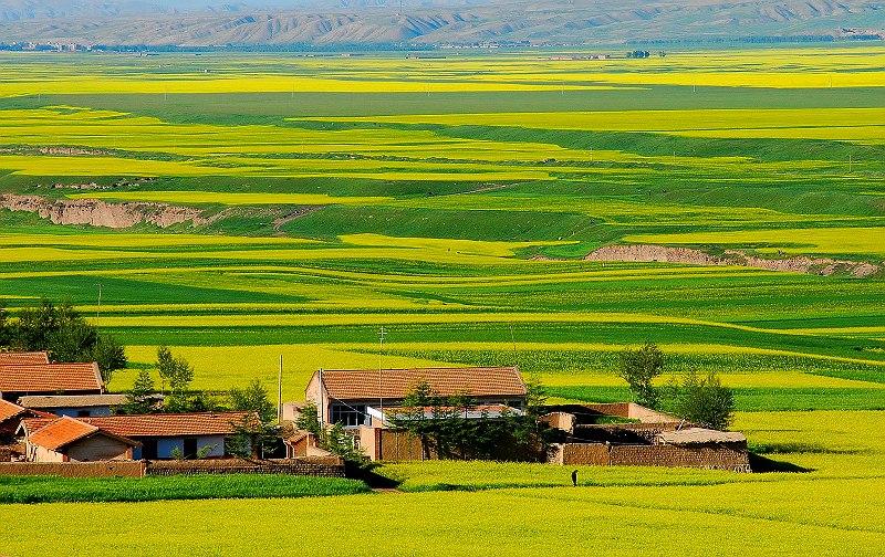 图片:中国最美的油菜花