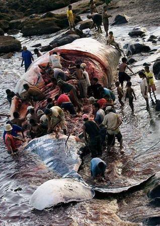 印尼原始岛民海上撑竿飞跃捕巨鲸(图)