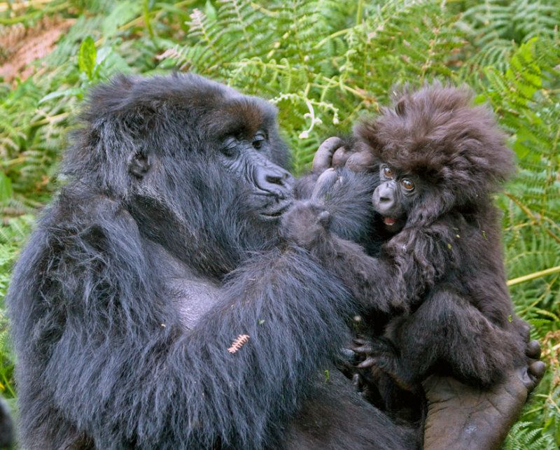 图片:发型超酷的小猩猩