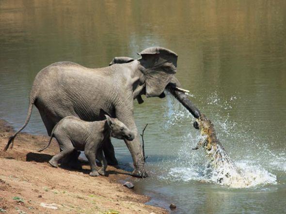 鳄鱼攻击大象