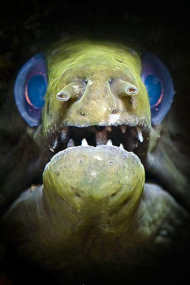 """2010年最佳海底摄影照片:蓝眼鳗鱼"""""""