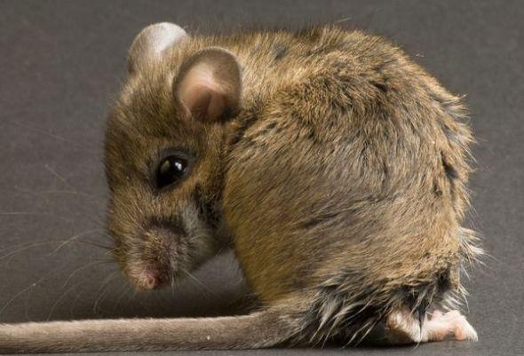 """雄性老鼠为赢得雌性""""芳心""""睾丸进化更大"""