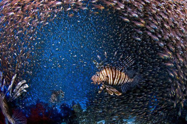 2010年最佳海底摄影照片:孤独的狮子鱼