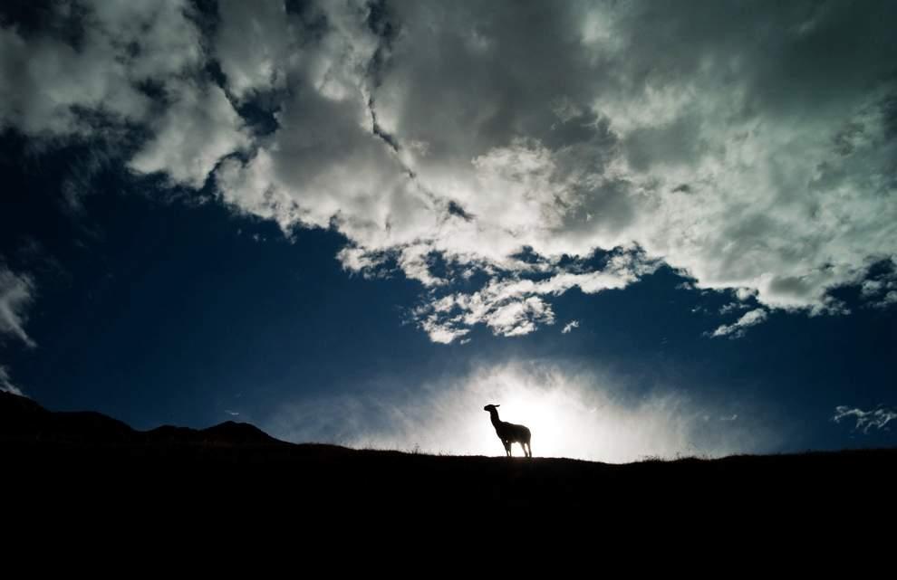 图片:2010年美国国家地理摄影大赛作品欣赏-夕阳已经西下,一头美洲骆驼还站在山顶