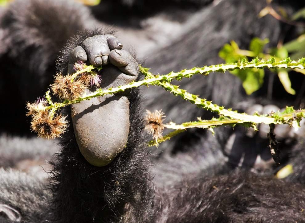 图片:2010年美国国家地理摄影大赛作品欣赏-卢旺达山地大猩猩