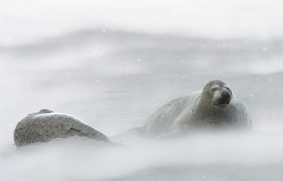 图片:2010年美国国家地理摄影大赛作品欣赏-经受北大西洋冬季暴风雪考验的海豹