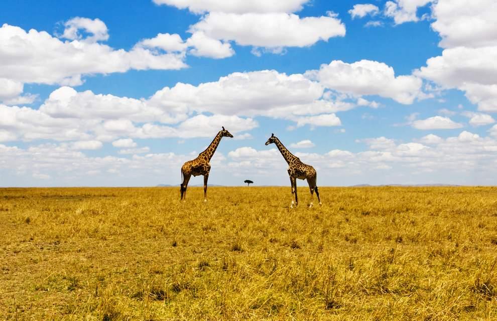 图片:2010年美国国家地理摄影大赛作品欣赏-非洲大草原上的长颈鹿