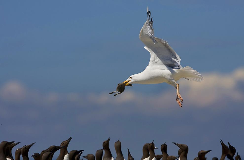 图片:2010年美国国家地理摄影大赛作品欣赏-抢劫海鸠雏鸟的银鸥