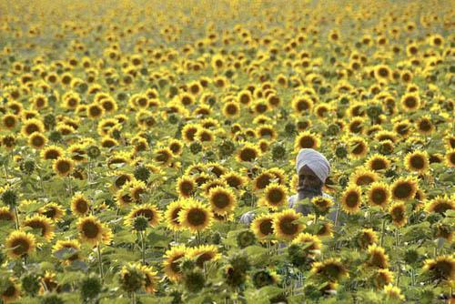 印度向日葵园
