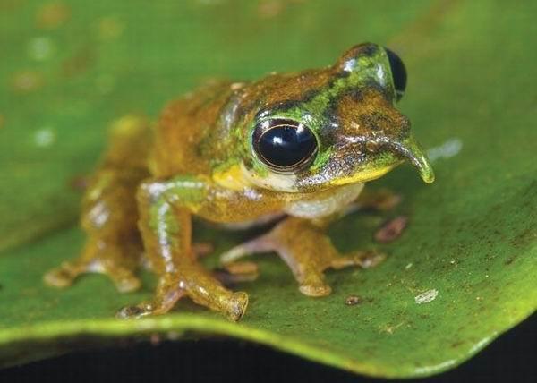图片:长鼻子青蛙